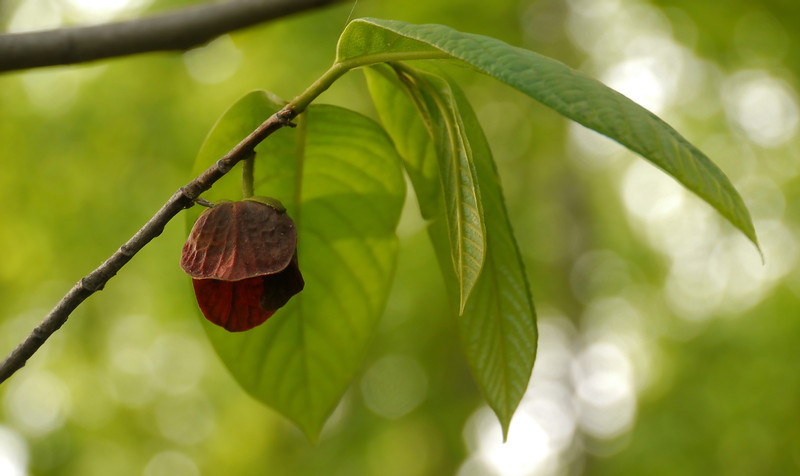 Pawpaw tree in flower (<i>Asimina triloba</i>) along Potomac floodplain Leesylvania State Park, Prince William County, VA