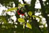 Backlit pawpaw flower (<i>Asimina triloba</i>) along Potomac floodplain  Leesylvania State Park, Prince William County, VA