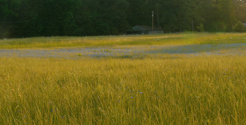 "Blue swath of cornflowers (<i>Centaurea cyanus</i>) in roadside field at sunset <span class=""nonNative"">[non-native]</span> Rural Orange County, NC"