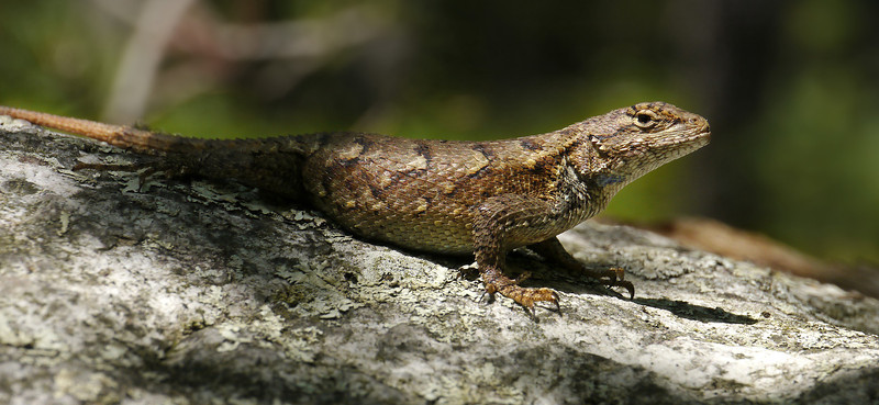 Fence lizard (<I>Sceloporus undulatus</I>) on rock Occoneechee Mountain State Natural Area, Hillsborough, NC