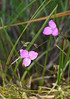 Grassleaf roseling (<I>Callisia graminea</I>) Carolina Beach State Park, Carolina Beach, NC