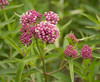 Swamp milkweed (<I>Asclepias incarnata</I>) Jug Bay Natural Area, Patuxent River Park, Upper Marlboro, MD