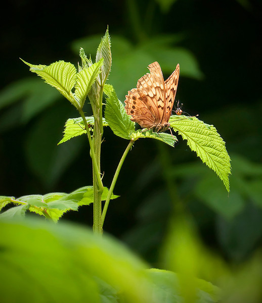 Tawny Emperor (<I>Asterocampa clyton</I>) fending off assassin bug McKee-Beshers Wildlife Mgt Area, Poolesville, MD