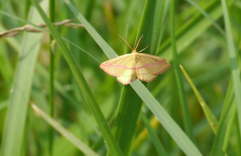 Chickweed geometer moth (<I>Haematopis grataria</I>) McKee-Beshers Wildlife Mgt Area, Poolesville, MD