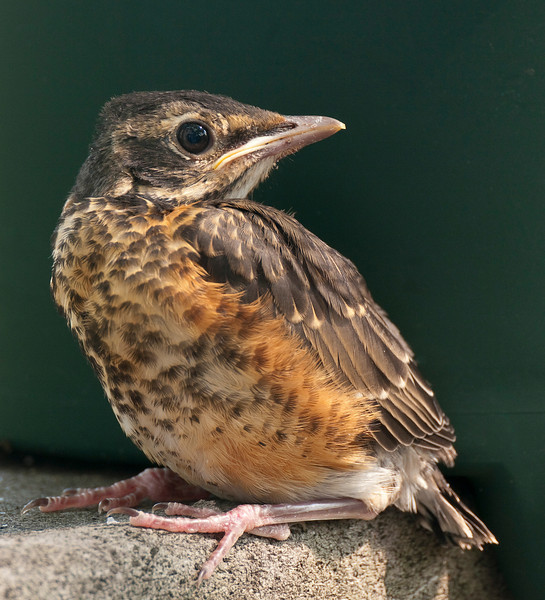 Fledgling American robin (<i>Turdus migratorius</i>) in my back yard Silver Spring, MD