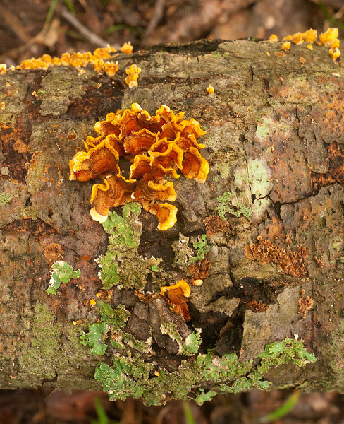 Crowded Parchment fungus (<i>Stereum complicatum</i>)? and lichens on decaying log Chapman State Park, Indian Head, MD