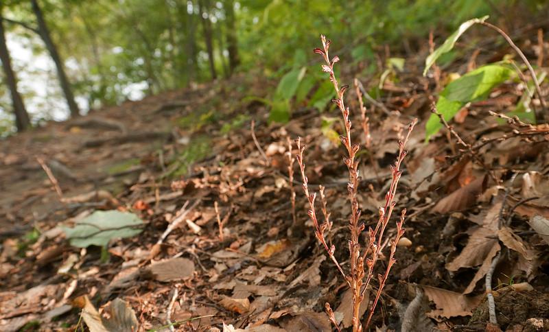 Beech drops (<i>Epifagus virginiana</i>) in flower Parasitic on roots of American beech tree Gilbert Run Park, La Plata, MD