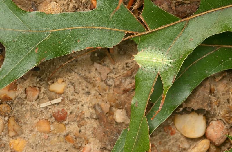 Crowned slug moth caterpillar (<i>Isa textula</i>) on Spanish red oak leaf (<i>Quercus falcata</i>) Gilbert Run Park, La Plata, MD