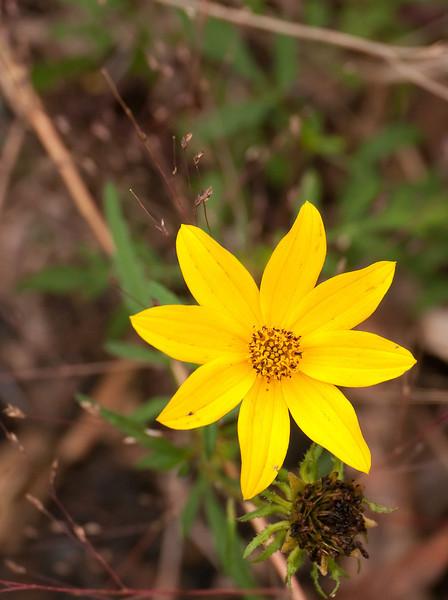 Tickseed sunflower (<I>Bidens trichosperma</I>) Nanjemoy Creek Preserve, Charles County, MD