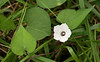 Small white morning glory (<i>Ipomoea lacunosa</i>) in roadside ditch Port Tobacco, MD
