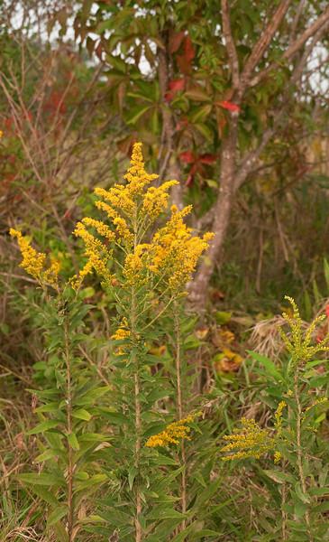 Goldenrod and Virginia creeper in marsh<br /> Newburg, MD