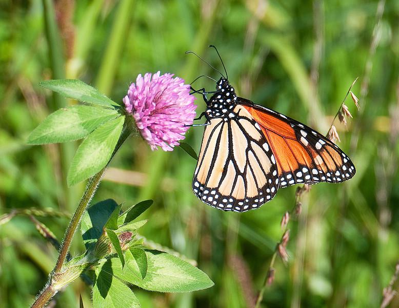 "Autumn-migrating monarch (<i>Danaus plexippus</i>) on red clover (<i>Trifolium</i> sp.) <span class=""nonNative"">[Non-native wildflower]</span> Frederick County, MD"