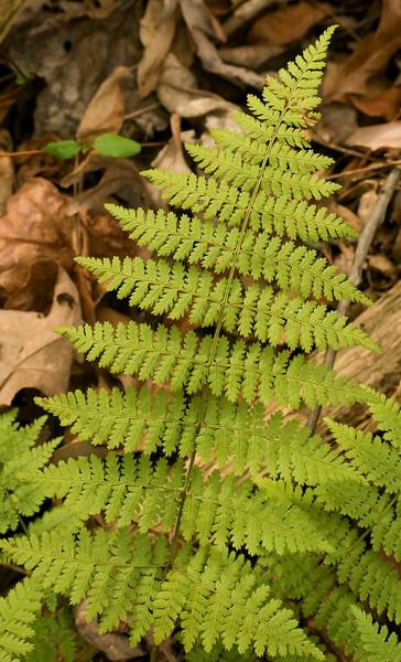 Wood fern (<I>Dryopteris</I> sp.) Black Hill Regional Park, Boyds, MD