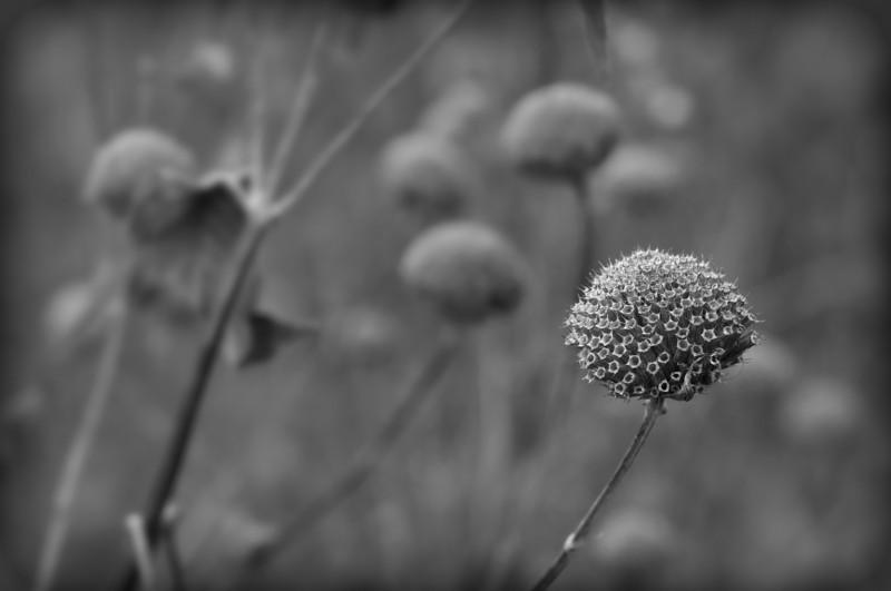 Winter Weeds:  Wild bergamot (<I>Monarda fistulosa</I>) dried head of calyx tubes Black Hill Regional Park, Boyds, MD