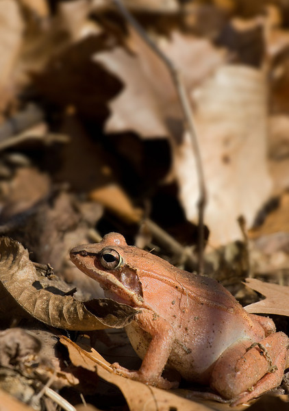 Gravid female wood frog (<I>Rana sylvatica</I>) Dora Kelley Nature Park, Alexandria, VA