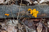 Fresh witches butter (<I>Tremella mesenterica</I>) the day after a big rain Maydale Conservation Park, Colesville, MD