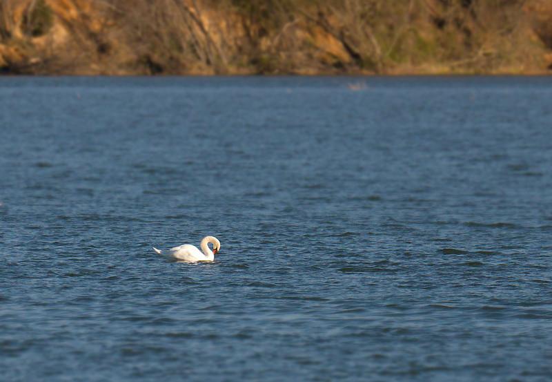 """Mute swan <span class=""""nonNative"""">[non-native invasive]</span> in Popes Creek Washington's Birthplace, VA"""