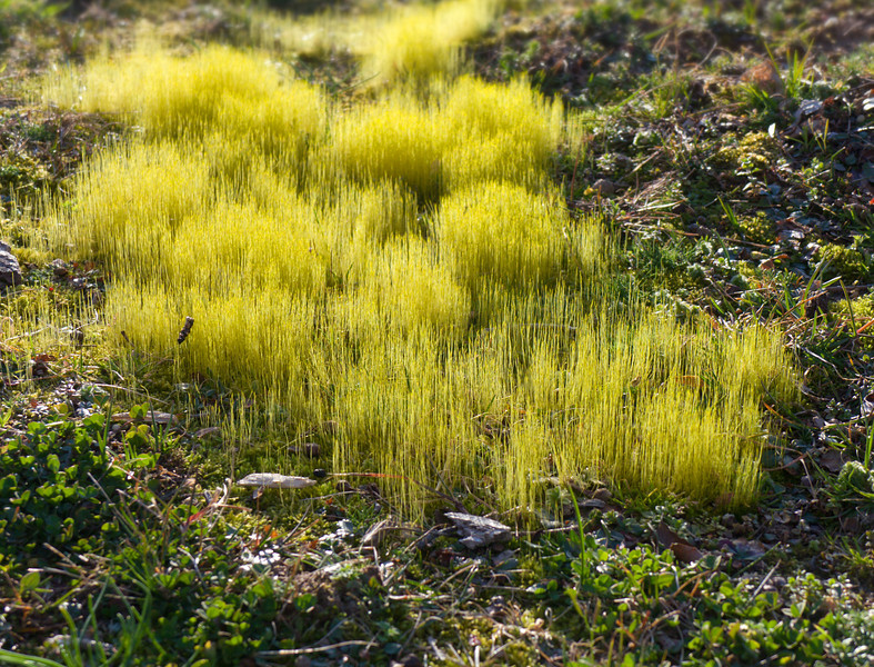 Moss sporophytes, backlit by late sun<br /> Stratford Hall Plantation, Stratford, VA