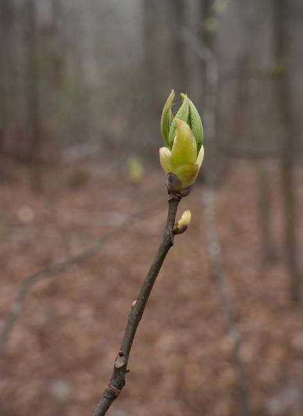 Spring budbreak (unidentified leaf bud)<br /> C&O Canal Nat'l Historical Park - Carderock Recreation Area, Western Montgomery County, MD