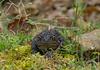 Female American toad (<I>Bufo americanus</I>) Black Hill Regional Park, Boyds, MD