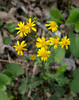 Golden ragwort (<I>Packera aurea</I>) C&O Canal Nat'l Historical Park - Great Falls, Western Montgomery County, MD