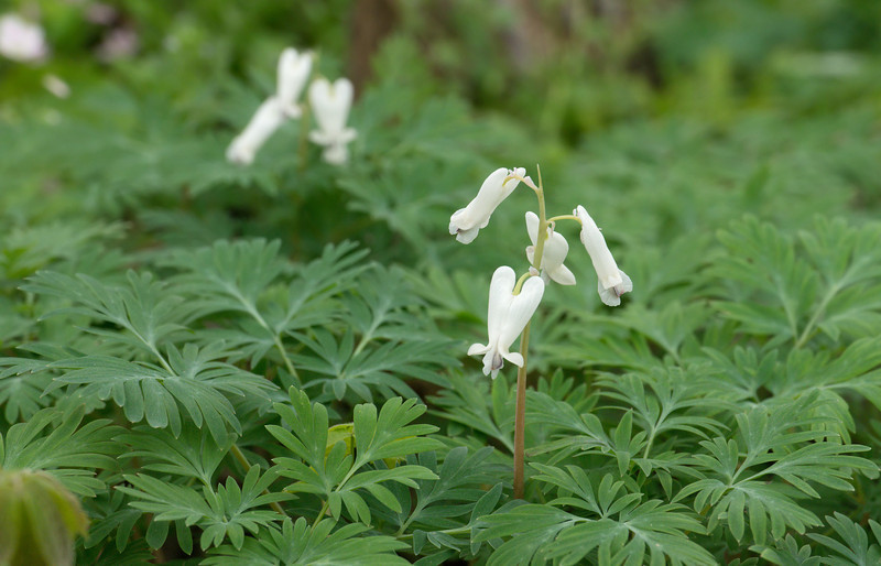 Squirrel corn (<I>Dicentra canadensis</I>) C&O Canal Nat'l Historical Park - Carderock Recreation Area, Western Montgomery County, MD