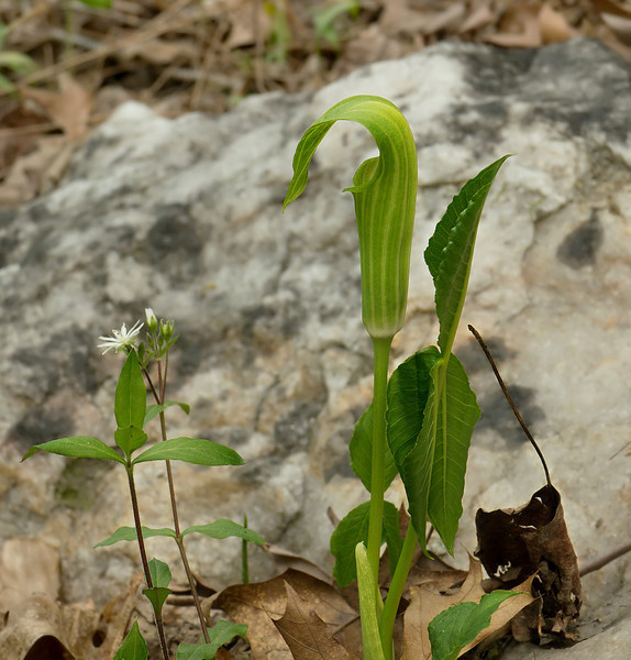 Jack-in-the-pulpit (<I>Arisaema triphyllum</I>) Wheaton Regional Park, Wheaton, MD