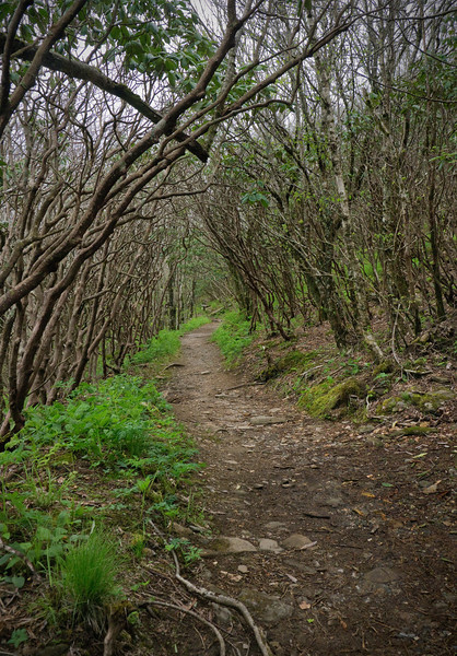 """Rhododendron tunnel pre-bloom on <A HREF=""""http://www.romanticasheville.com/Craggy.htm"""" TARGET=""""_blank"""">Craggy Gardens Trail</A> Blue Ridge Parkway, NC"""