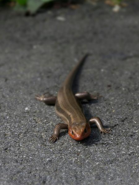 Common five-lined skink (<I>Plestiodon fasciatus</I>), breeding male (orange-red head)  Asheville, NC