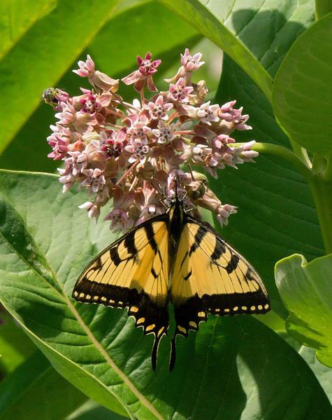 Tiger swallowtail nectaring on common milkweed<br /> Jug Bay Natural Area, Patuxent River Park, Upper Marlboro, MD