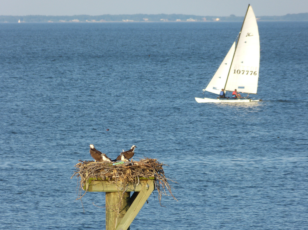 Osprey family on the Chesapeake Bay<br /> John H. Downs Memorial Park, Pasadena, MD