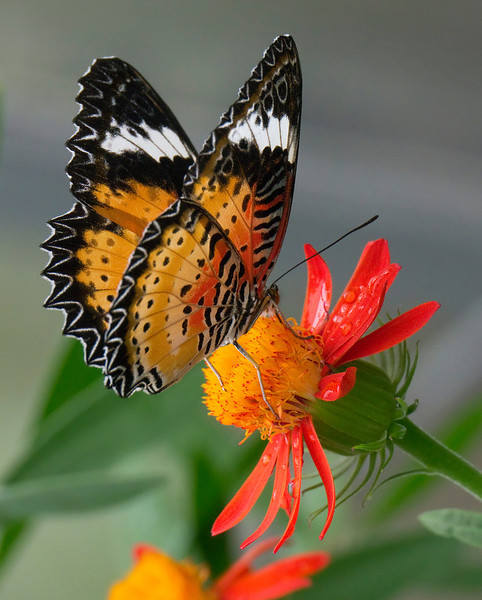 """<A HREF=""""http://en.wikipedia.org/wiki/Cethosia_biblis"""" TARGET=""""_blank"""">Common lacewing butterfly</A> (<I>Cethosia biblis</I>) <span class=""""nonNative"""">[non-native, captive]</span> Brookside Gardens """"Wings of Fancy"""" exhibit, Wheaton, MD"""