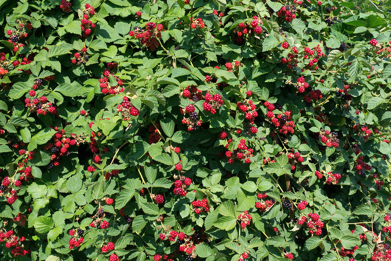 "Blackberry patch (<I>Rubus fruticosus</I>) at Rock Hill Farm <span class=""nonNative"">[crop planting]</span> Mount Airy, MD"