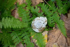 Terrestrial snail shell on fern<br /> Catoctin Mountain Nat'l Park, Frederick County, MD