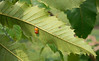 Mating ladybird beetles on American Chestnut in breeding orchard<br /> Black Hill Regional Park, Boyds, MD