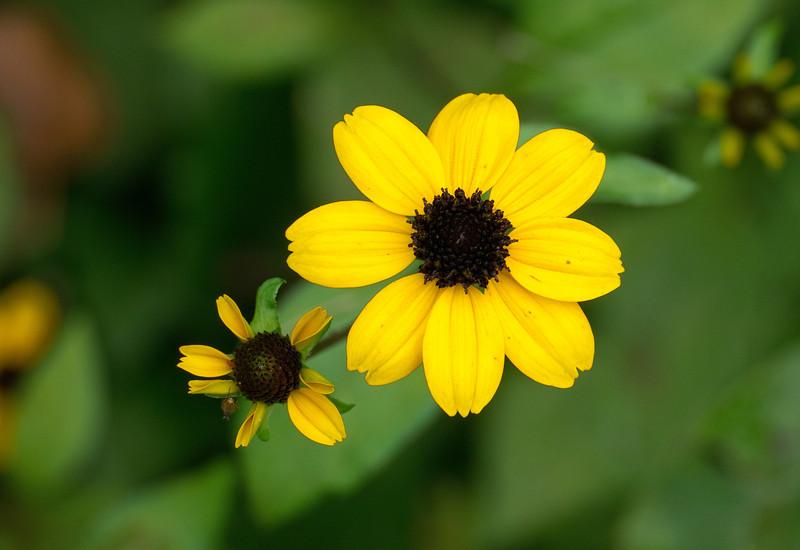 Black-eyed Susan (<I>Rudbeckia hirta</I> var. <I>pulcherrima</I>) Black Hill Regional Park, Boyds, MD