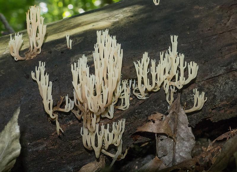 Crown tip coral fungus (<I>Clavicorona pyxidata</I>) on decaying log Rock Creek Park, Washington, DC