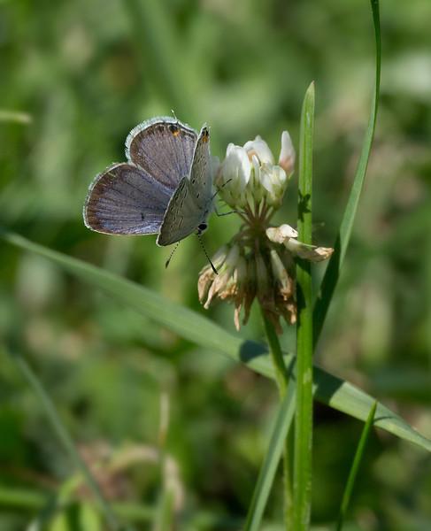 Eastern tailed blue (<I>Everes cornyntas</I>) Rock Creek Park, Washington, DC