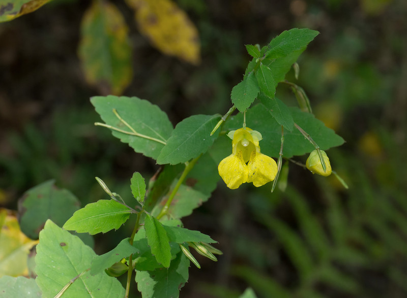 Pale jewelweed (<I>Impatiens pallida</I>) Towson University Field Station, Baltimore County, MD
