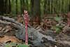 Pinesap (<I>Monotropa hypopitys</I>) in fruit Oregon Ridge, Baltimore County, MD
