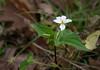 Canada violet (<I>Viola canadensis</I>)? Appalachian Trail, Shenandoah National Park, VA