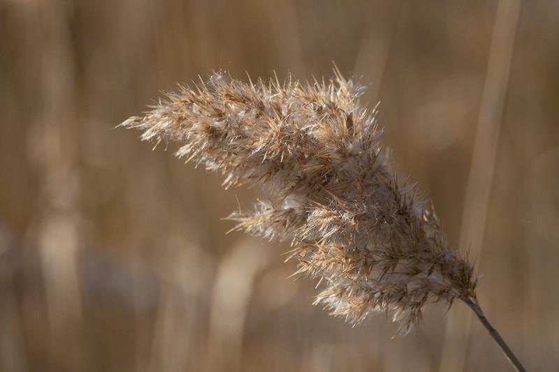 Phragmites (<I>Phragmites australis</I>) in marsh Point Lookout State Park, Scotland, MD