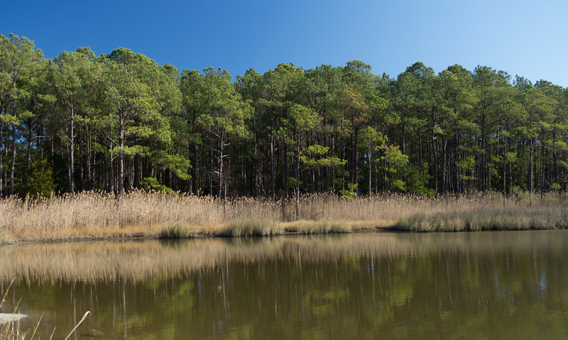 Pines & reeds along Lake Conoy<br /> Point Lookout State Park, Scotland, MD