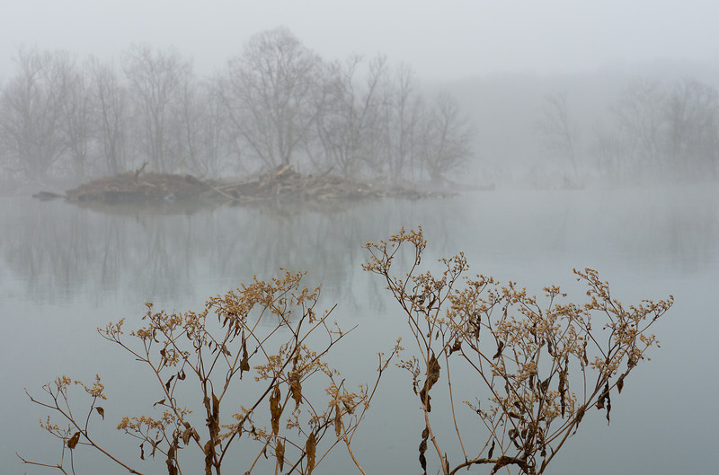 Winter weeds on the Potomac floodplain on a foggy morning<br /> C&O Canal Nat'l Hist Park - Great Falls, Western Montgomery Count, MD