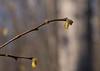 Leatherwood (<I>Dirca palustris</I>) flowers C&O Canal Nat'l Historical Park - Carderock Recreation Area, Western Montgomery County, MD