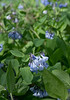 Virginia bluebells (<I>Mertensia virginica</I>) Riverbend Park, Great Falls, VA