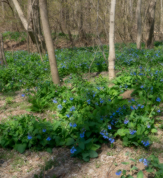 Potomac floodplain blanketed with Virginia bluebells (<I>Mertensia virginica</I>)  <I>(Orton effect)</I> Riverbend Park, Great Falls, VA