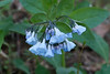 Virginia bluebells (<I>Mertensia virginica</I>) (<I>watercolor effect</I>) Riverbend Park, Great Falls, VA