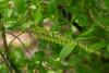 Fetterbush (<I>Eubotrys racemosus</I>), flowers almost open Suitland Bog, Suitland, MD