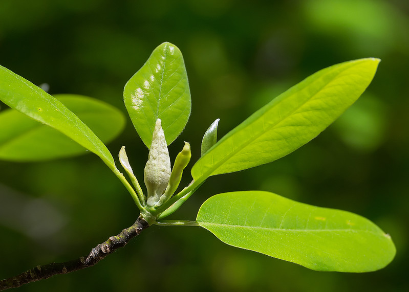 Sweet bay magnolia (<I>Magnolia virginiana</I>) with flower bud Suitland Bog, Suitland, MD
